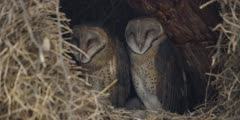 Barn Owl - family in nest, close, one preening