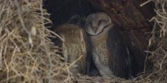 Barn Owl - family in nest, close