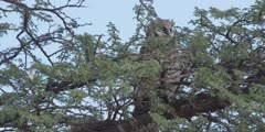 Veraux's Eagle Owl - perched on thorn tree, medium shot