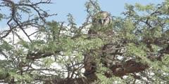 Veraux's Eagle Owl - perched on thorn tree, medium shot 2