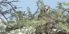 Veraux's Eagle Owl - perched on thorn tree, close shot