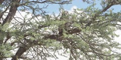 Veraux's Eagle Owl - perched on thorn tree, wide shot