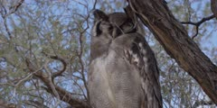 Veraux's Eagle Owl - perched on thorn tree, tilt from claws to head