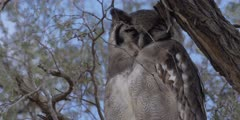 Veraux's Eagle Owl - perched on thorn tree, close of head 2