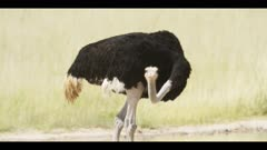 Ostrich - looking around, eating, close shot