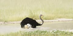 Ostrich - bathing, sitting in water, flapping wings