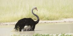 Ostrich - bathing, sitting in water, snapping at flies
