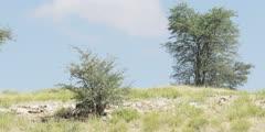 Hyena Clan with Babies under tree, wide shot
