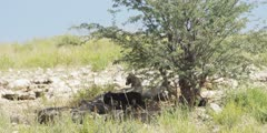 Hyena Clan with Babies under tree, medium shot
