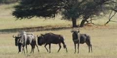 Wildebeest - Herd grazing on grassland