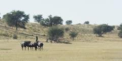 Wildebeest - herd on dry riverbed, wide