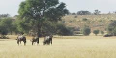 Wildebeest - herd on dry riverbed, grazing, medium