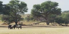Wildebeest - herd on dry riverbed, wide 2