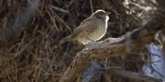 Sociable Weaver - female perched on branch, backlit, flies off