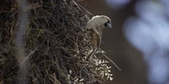 Sociable Weaver - male takes grass from nest, flies off