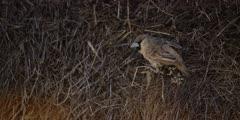 Sociable Weaver - male on side of nest