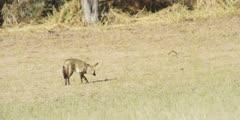 Bat-eared Fox - walking away