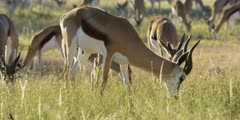 Springbok - herd grazing, medium of one buck