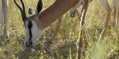 Springbok - grazing, close of head