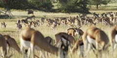 Springbok - large herd, grazing and walking through the grass