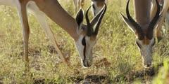 Springbok - grazing, close shot of head