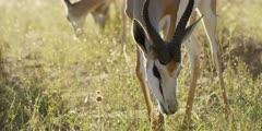 Springbok - grazing, close shot of head 2