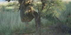 Sociable Weaver - large nest in tree, close
