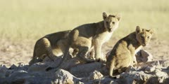 Lioness and cubs - cubs drinking from waterhole