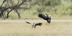 Secretary bird - courtship display, pair running wings open, jumping