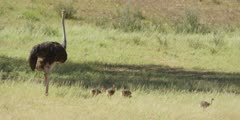 Ostrich Family with Chicks - adult with chicks