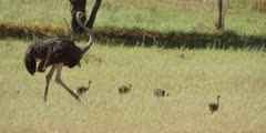 Ostrich Family with Chicks - chicks walking with adult