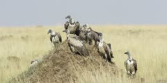 White-backed Vultures on an anthill, medium shot