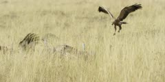 Vultures landing on kill, spooking tawny eagle