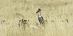 Marabou Storks and Vultures on a Kill