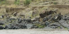 Wildebeest crossing the Mara river, climbing up rocks
