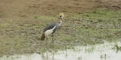 Crowned Crane next to the Mara river