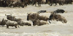 Wildebeest and Zebra crossing the Mara river at the rapids, close shot