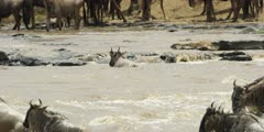 Wildebeest crossing the Mara river, one caught by a croc