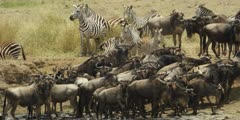 Wildebeest crossing the Mara river, standing at edge