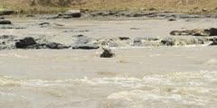 Crocodile killing Wildebeest