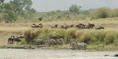 Wildebeest and zebra walking away from the Mara river