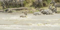 Zebra with calf crossing the Mara river