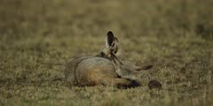 Pair of bat-eared foxes resting