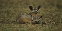 Pair of bat-eared foxes, one resting, one looking around
