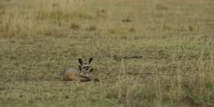 Pair of bat-eared foxes, huddled on ground, then run off