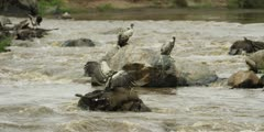 Vultures feeding on wildebeest carcass in the mara river, medium shot