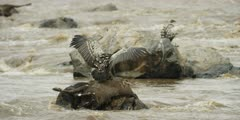Vulture feeding on wildebeest carcass in the mara river, wings open