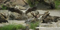 Pile of dead wildebeest in the Mara river, vultures feeding