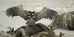 Ruppel's vulture feeding on drowned wildebeest in the Mara river