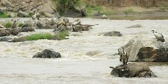 Drowned wildebeest in the Mara river, vultures feeding, wide shot